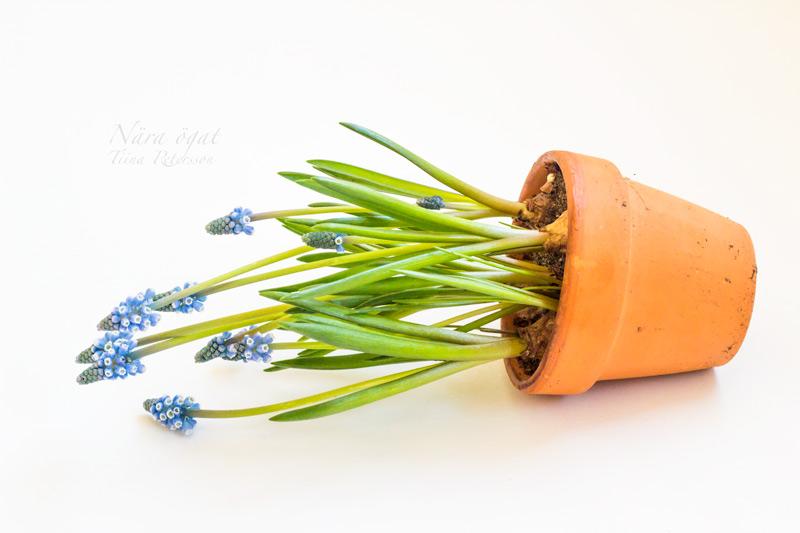 hyacint_9572