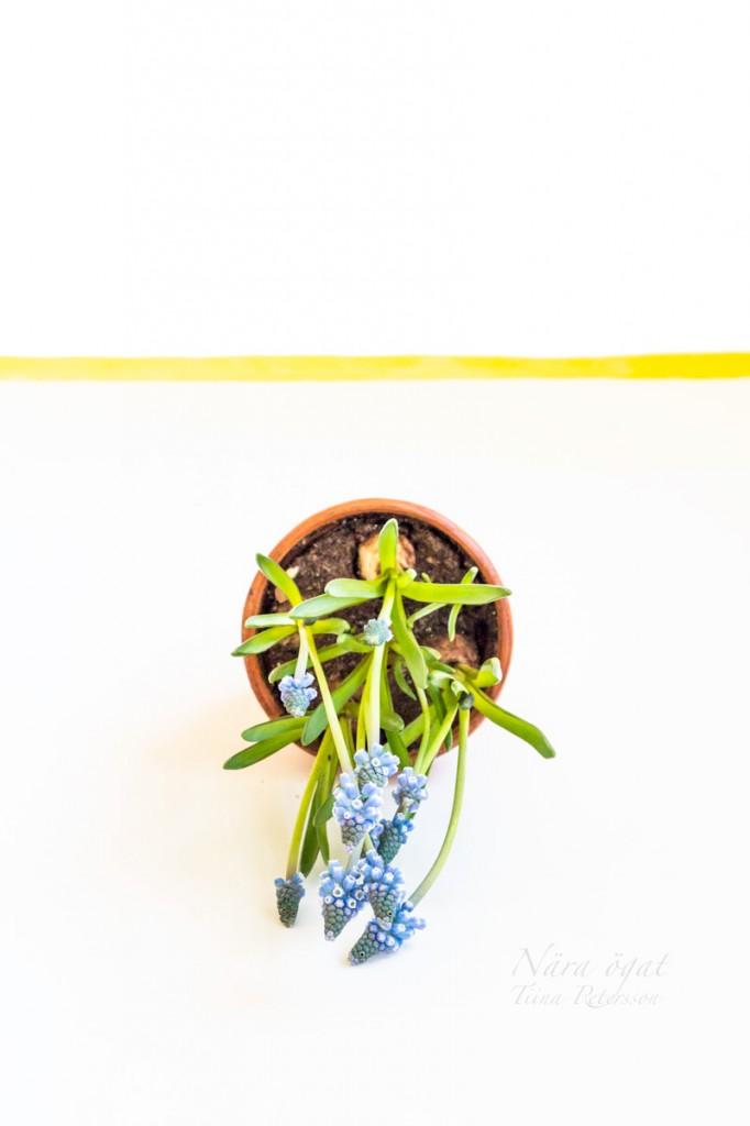 hyacint_9574