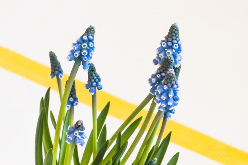 hyacint_9582